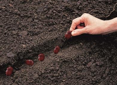 sementeira de chourizos
