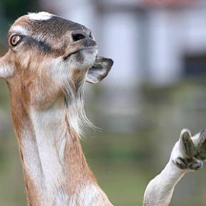 O PP de Vila de Cruces presentará una cabra como Nº 1 da súa lista electoral para asmunicipais