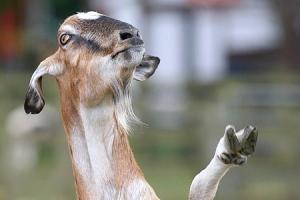 A cabra Balbina dirixíndose aos seus acólitos.