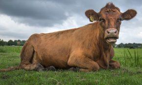 Atopan en Lalín unha vaca queri
