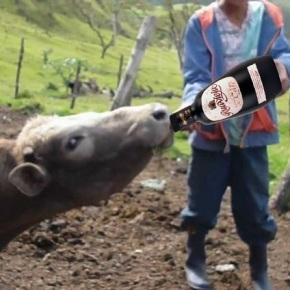 Larsa pide aos gandeiros que lle dean licor café ásvacas