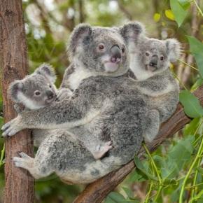 Atopan unha familia de koalas vivindo nun monte veciñal doBarbanza
