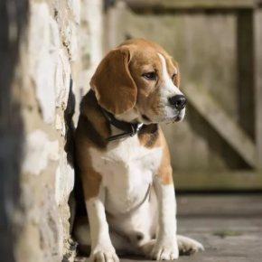 O santo Antón deixa centos de cans bautizados en contra da súavontade